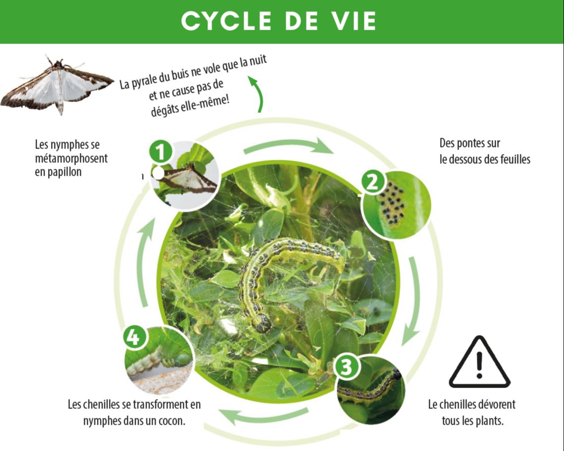 Infographie sur le cycle de vie de la pyrale du buis